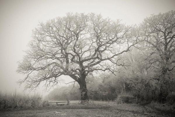 Oak Tree with Hoar Frost