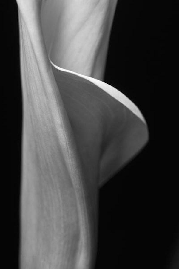 Calla Lily Detail I