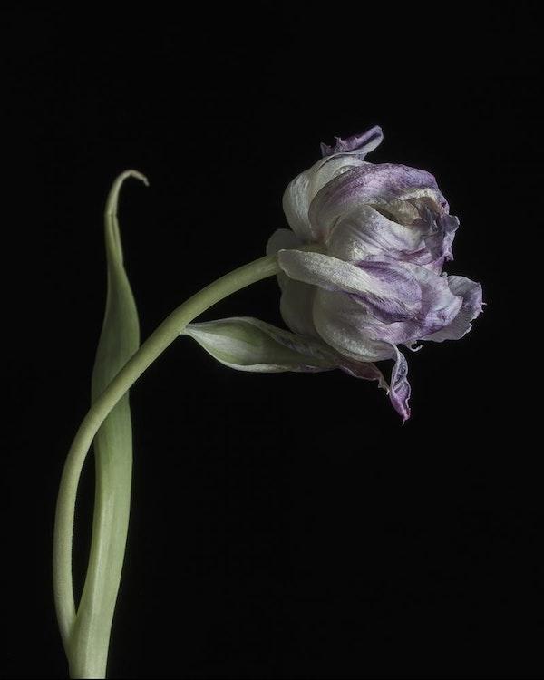 Tulip (purple)