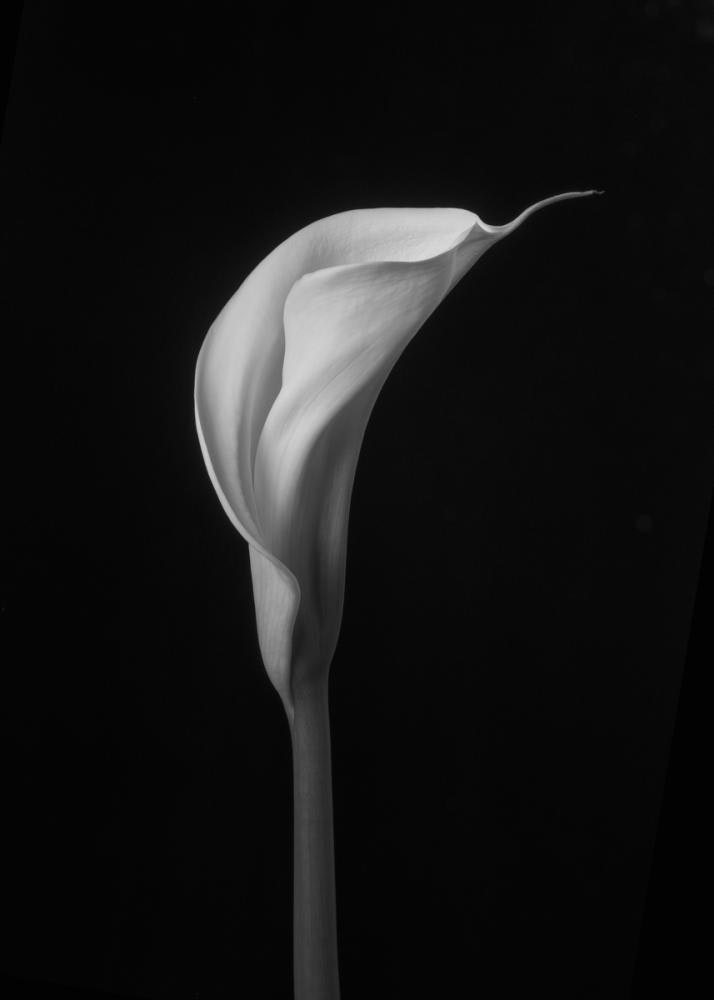 Calla Lily detail 2
